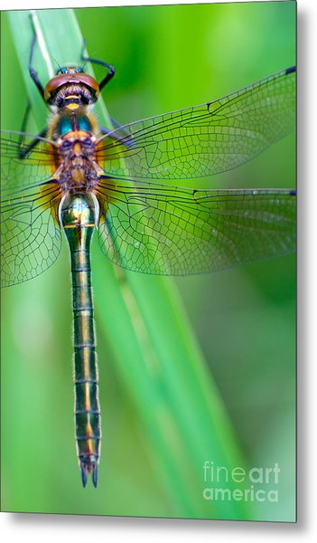 A Dragonfly Cordulia Aenea Warming Its Metal Print