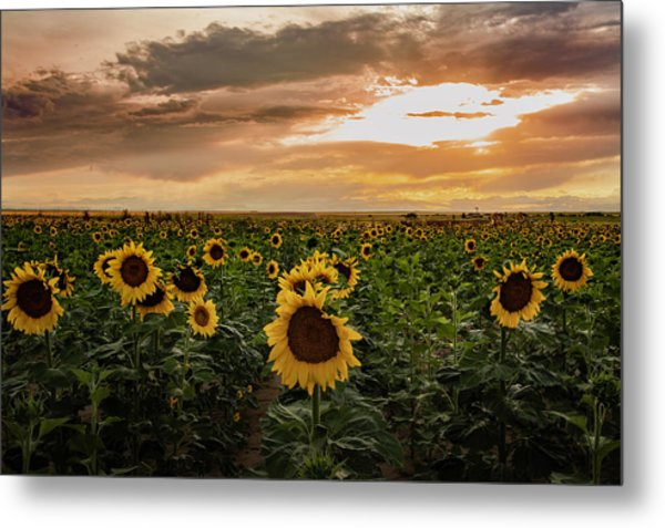 A Field Of Sunflowers At Sunset Metal Print