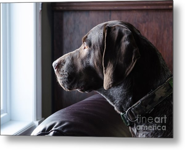 A German Short Haired Pointer Hunting Metal Print