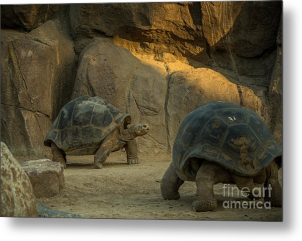 A Giant Galapagos Turtles On A Walk Metal Print by Awol666