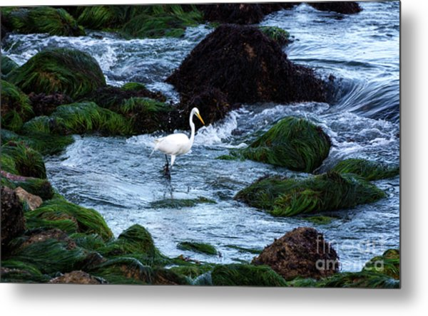 A Great Egret Watches The Incoming Tide Metal Print