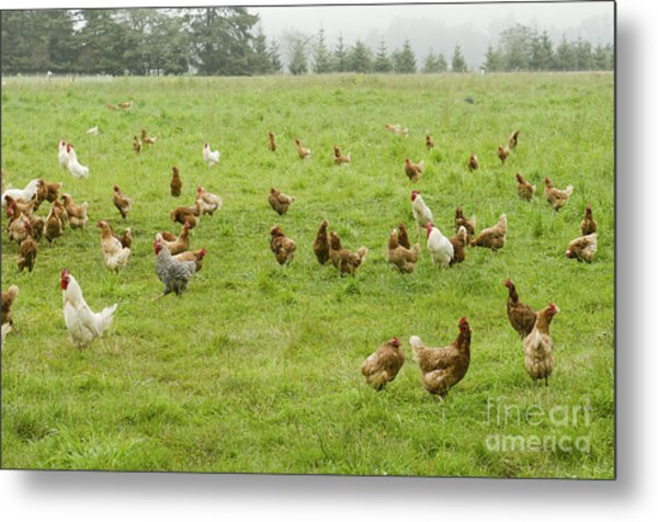 A Group Of Free Range Chickens Feed In Metal Print