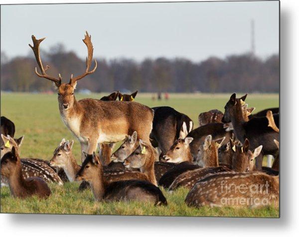 A Herd Of Deer In The Phoenix Park In Metal Print