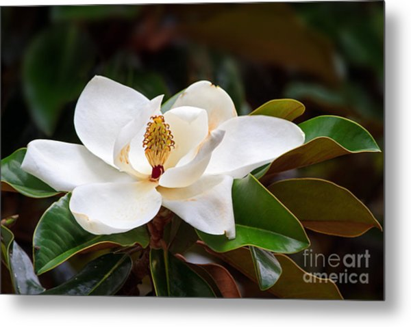 A Large, Creamy White Southern Magnolia Metal Print