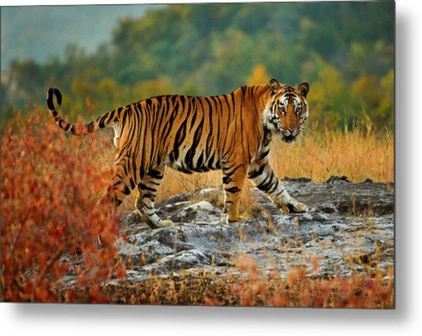 A Large Tiger In Bandhavgarh National Metal Print