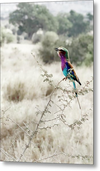 A Lilac Breasted Roller Sings, Desaturated Metal Print