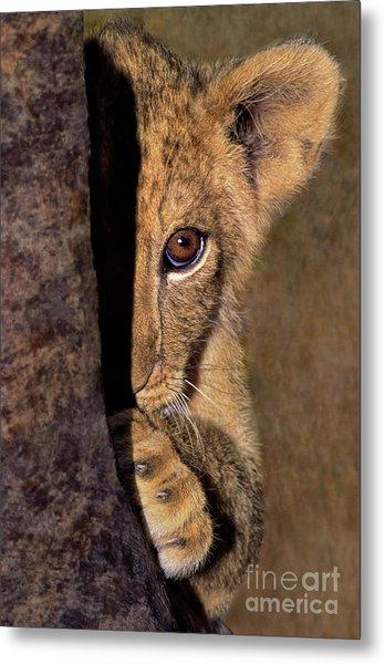 A Lion Cub Plays Hide And Seek Wildlife Rescue Metal Print