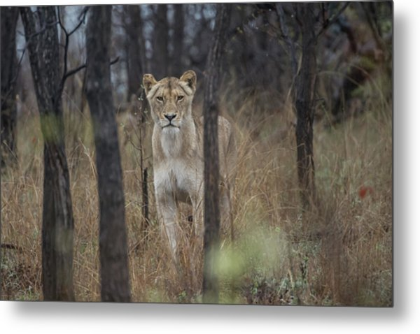 A Lioness In The Trees Metal Print