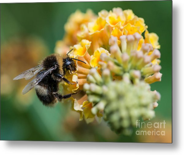 A Macro Shot Of A Bumblebee Enjoying Metal Print