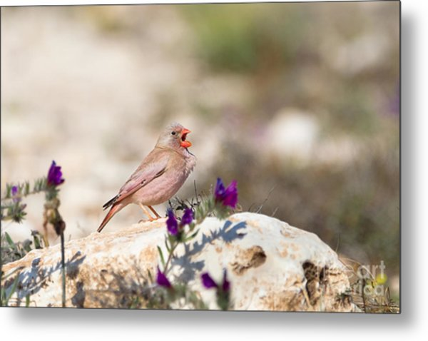 A Male Trumpeter Finch Bucanetes Metal Print