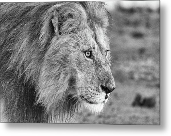 A Monochrome Male Lion Metal Print