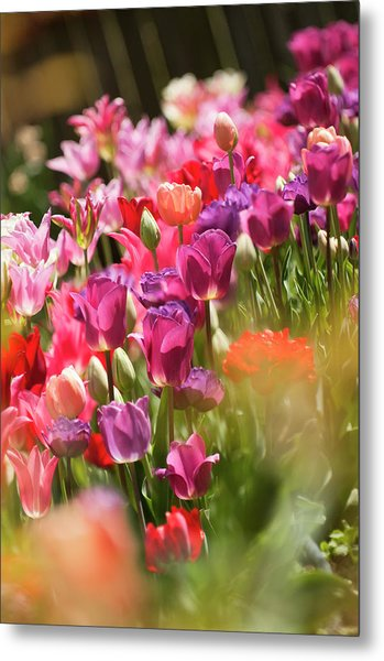 A Multicolor Patch Of Blossoming Tulips Metal Print