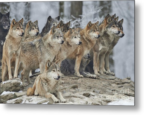 A Pack Of Wolves In Snow Metal Print