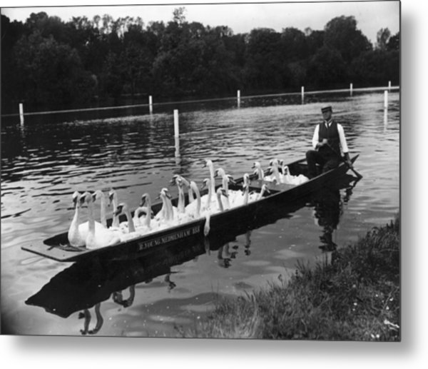 A Punt Full Of Swans Metal Print by Hulton Archive