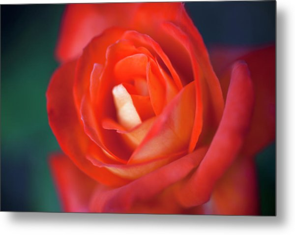 A Red Rose, Extreme Close Up, Selective Metal Print