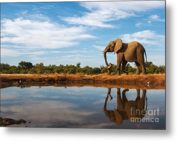 A Single Elephant Is Reflected On The Metal Print
