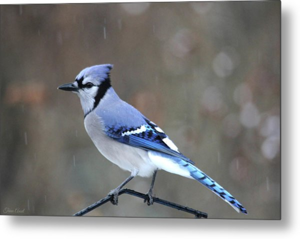 A Snowy Day With Blue Jay Metal Print