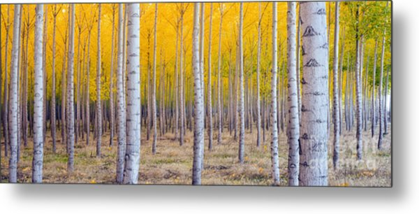 A Stand Of Trees Begins To Weather Fall Metal Print by Christopher Boswell