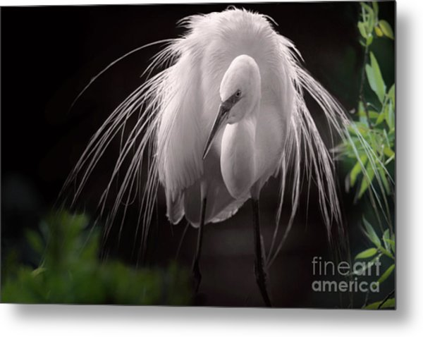 A Touch Of Class - Great Egret With Plumage Metal Print
