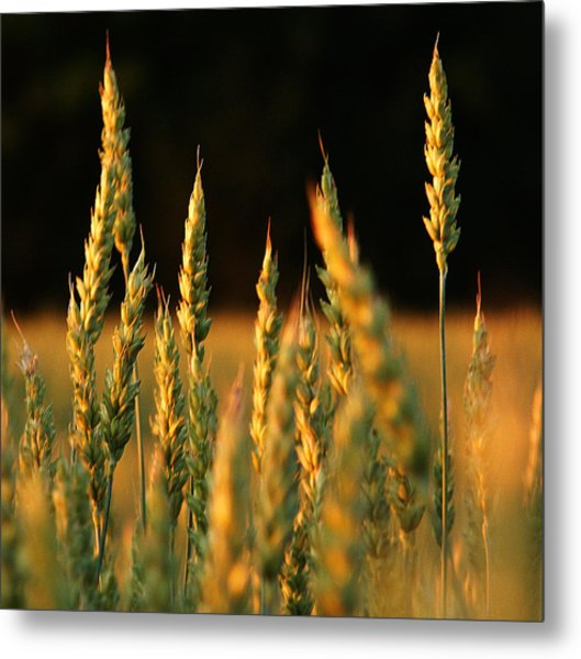 A Wheat Field Towards The End Of The Day Metal Print by Ssuni