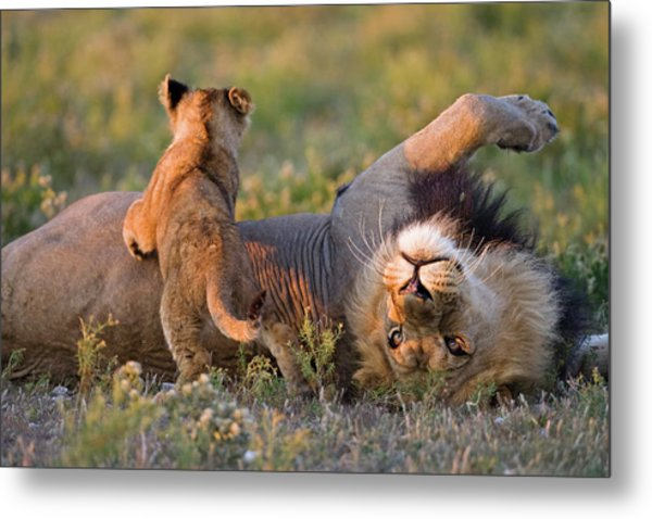 Africa, Botswana, Adult Male Lion Metal Print by Westend61