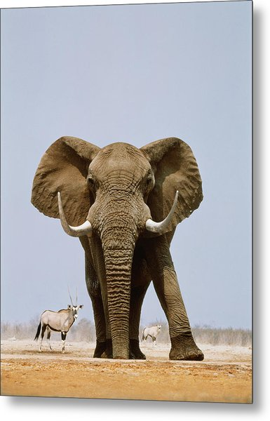 African Elephant And Gemsboks, Namibia Metal Print by Art Wolfe