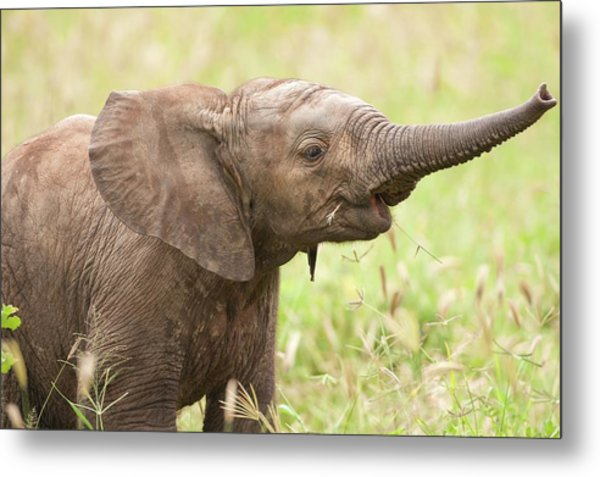 African Elephant Loxodonta Africana Metal Print by Photostock-israel/science Photo Library