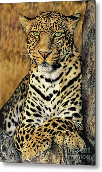 Metal Print featuring the photograph African Leopard Portrait Wildlife Rescue by Dave Welling