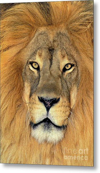 Metal Print featuring the photograph African Lion Portrait Wildlife Rescue by Dave Welling