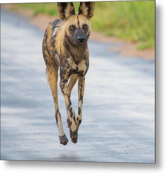 African Wild Dog Bouncing Metal Print