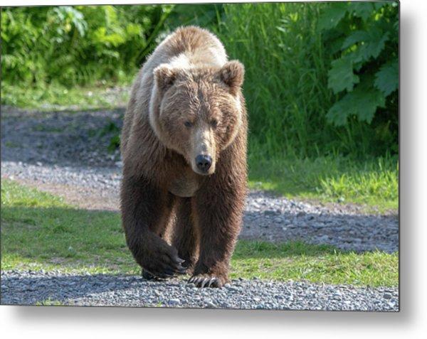 Alaskan Brown Bear Walking Towards You Metal Print