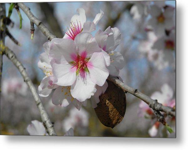 Almond Blossom And Almond Nut. Spain Metal Print by Josie Elias