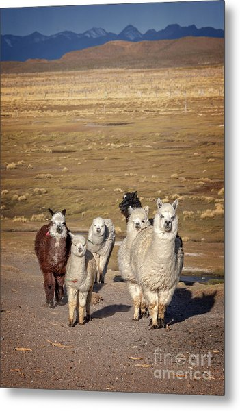 Alpacas In Bolivia Metal Print