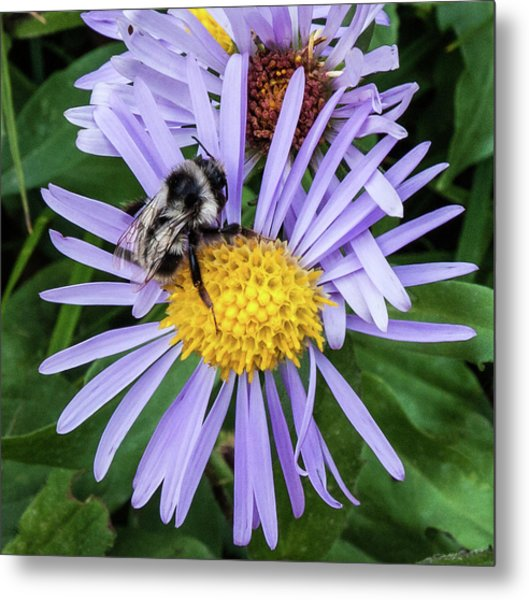 Metal Print featuring the photograph Alpine Aster At Glacier National Park by Lon Dittrick