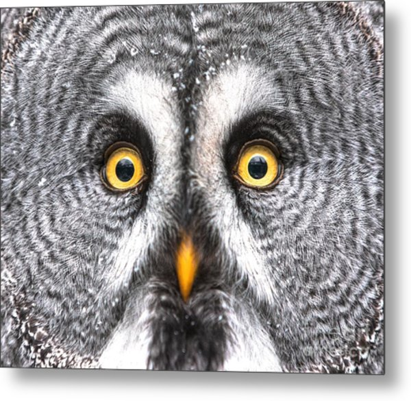 Amazed Great Grey Owl Hdr Metal Print by Pics-xl