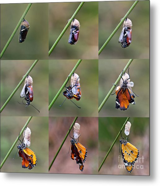 Amazing Moment About Butterfly Change Metal Print