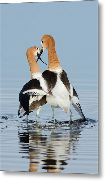 American Avocets, Courtship Dance Metal Print by Ken Archer