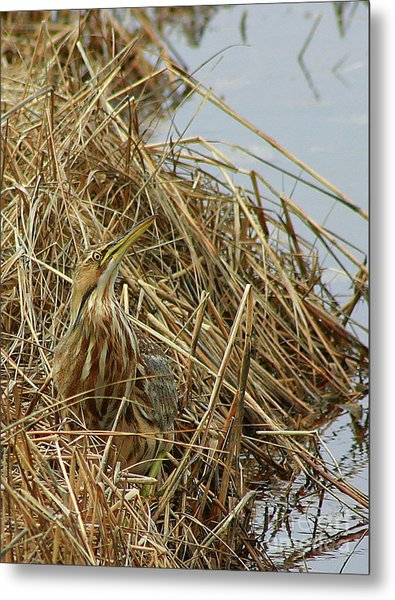 Metal Print featuring the photograph American Bittern by Debbie Stahre