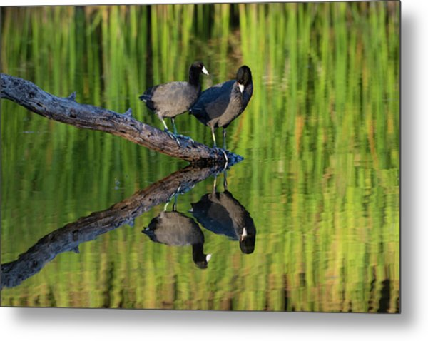 American Coot In Pond Metal Print by Larry Ditto