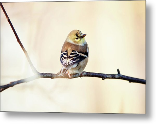 Metal Print featuring the photograph American Goldfinch by Sue Collura