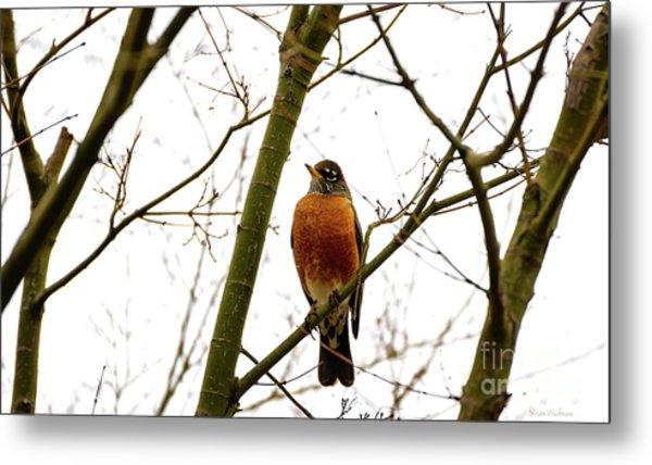 American Robin Perching In A Wintertime Tree Metal Print