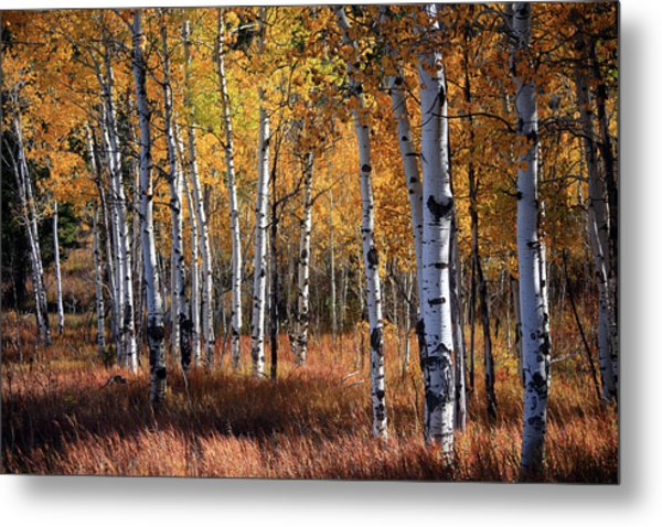 An Aspen Grove In Autumn With Orange Metal Print by Denny35463