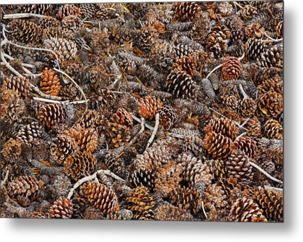 Ancient Bristlecone Pine Cones Metal Print by Adam Jones