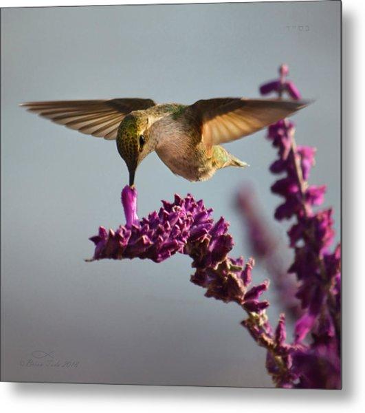 Anna's Hummingbird Sipping Nectar From Salvia Flower Metal Print