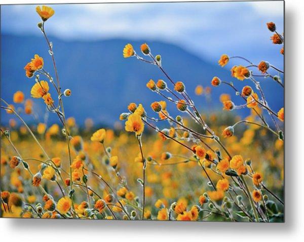 Anza Borrego Wild Desert Sunflowers Metal Print