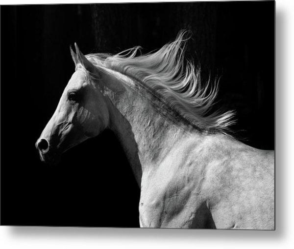 Arab Stallion Metal Print by Photographs By Maria Itina