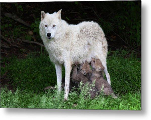 Arctic Wolf Pups Feeding Metal Print