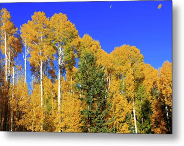 Arizona Aspens And Blowing Leaves Metal Print