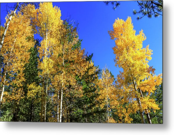 Arizona Aspens In Fall 1 Metal Print