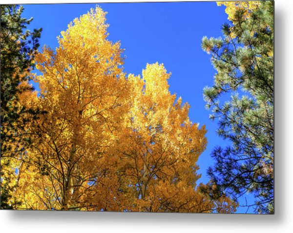 Arizona Aspens In Fall 2 Metal Print